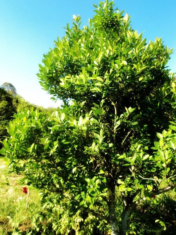 Árvore de Erva Mate